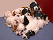 Abby's 2004 litter of puppies
