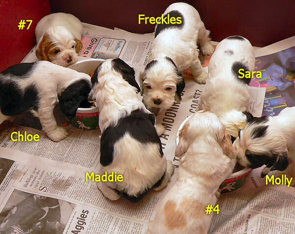 All seven of our puppies at four weeks of age