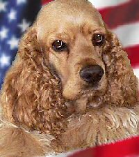 Photo of an American Cocker Spaniel
