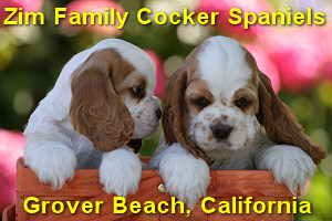 Zim Family Cocker Spaniel Puppies - San Luis Obispo county California