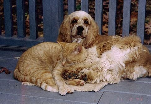 Cocker Spaniels and cats do sometimes make good friends