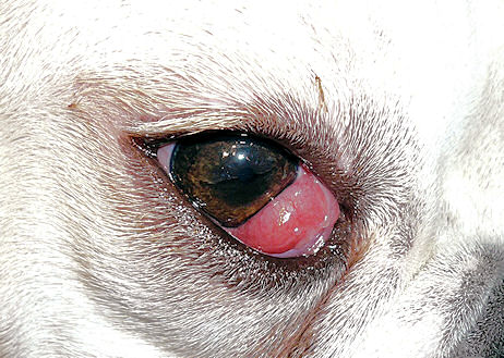 Information about cherry eye in Cocker Spaniel dogs