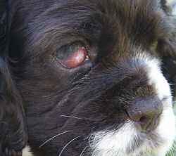 Cocker Spaniel puppy with a cherry eye