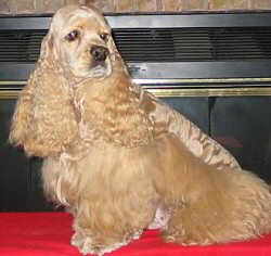 buff colored Cocker Spaniel with full coat