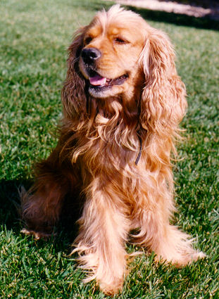 solid red American Cocker Spaniel