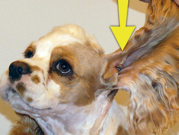 Cocker Spaniel Ear Cleaner Recipe Ear Infections