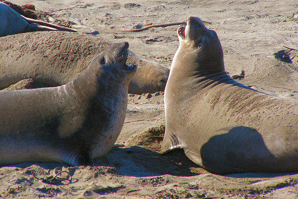 Photo of Elephant Seals using 12x zoom on Panasonic DMC-FZ10 Lumix