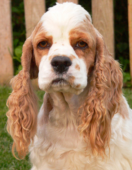 Red and white parti Cocker Spaniel