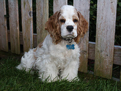 photo of red and white parti colored Cocker Spaniel