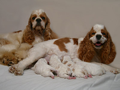 Cocker Spaniel family photo