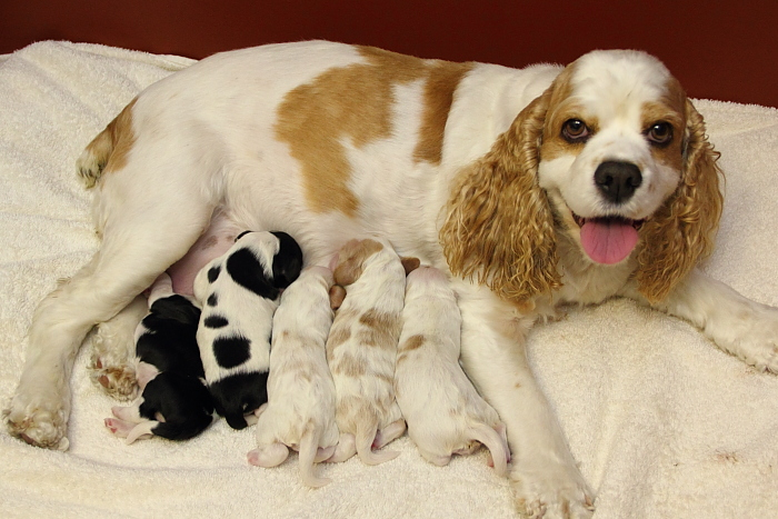 Joanna with her litter of Cocker Spaniel puppies