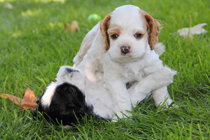 Cocker Spaniel puppies wrestling