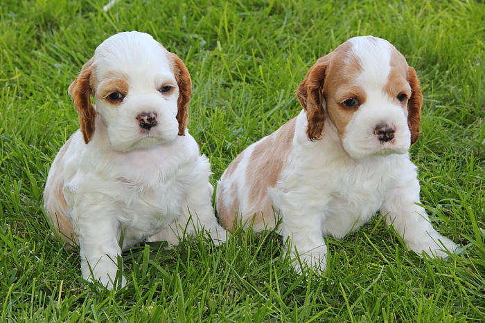 red & white parti Cocker Spaniel puppies