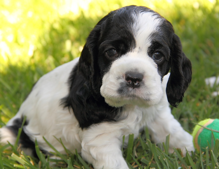 black & white parti Cocker puppy