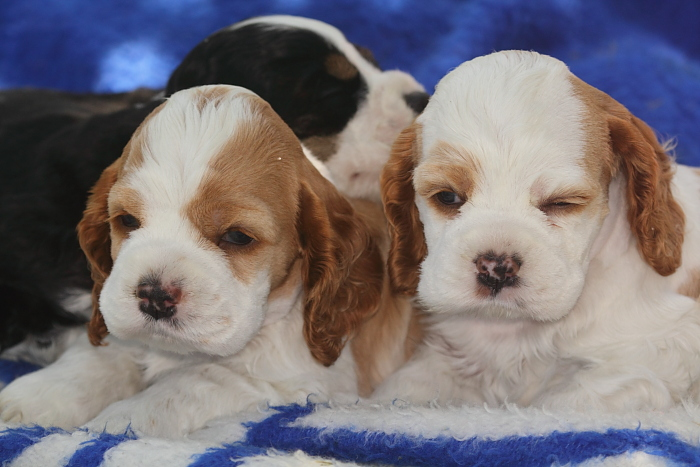 4 week old parti color Cocker Spaniel puppies