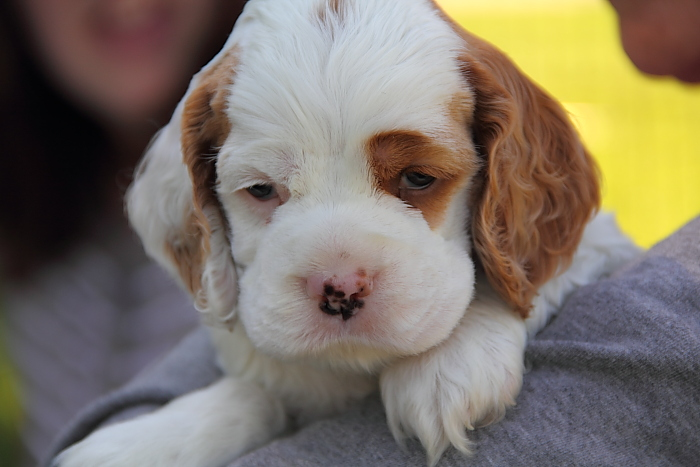 half face Cocker Spaniel puppy