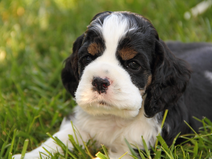 tri color Cocker Spaniel puppy