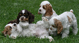 Parti colored Cocker puppies