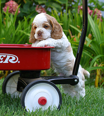 Puppy in Radio Flyer wagon