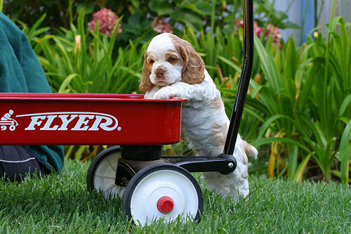 Cocker Spaniel puppy on wagon