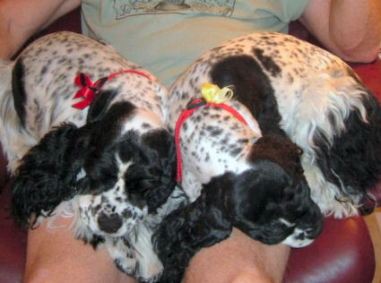 heavily ticked Cocker Spaniels