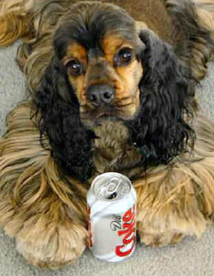 sable Cocker Spaniel