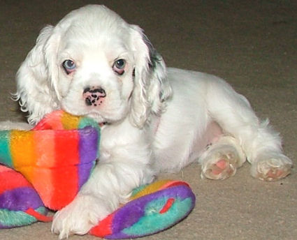 white Cocker Spaniel
