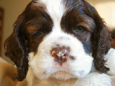 picture of chocolate & white Cocker Spaniel puppy