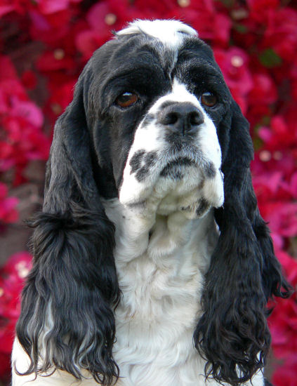 black and white parti Cocker Spaniel