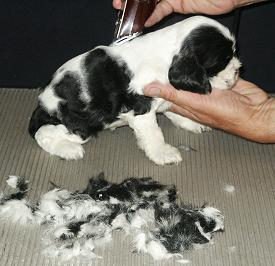 shaving Cocker Spaniel puppy