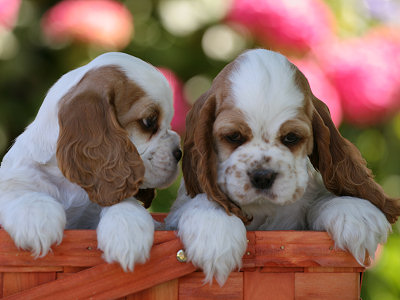 Photo of Cocker Spaniel puppies for use as a desktop background image