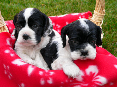 photo of one month old Cocker Spaniel puppies