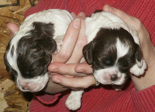 Two puppies nine days old