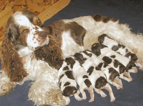 Lady nursing 4 day old puppies