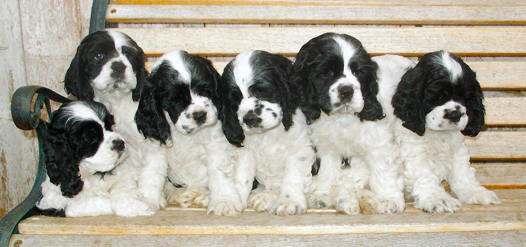 Cocker Spaniel puppies on a bench