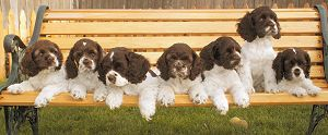 chocolate and white parti color Cocker Spaniel photos