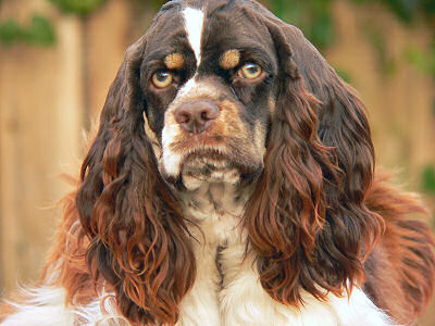 chocolate and white Cocker Spaniel with tan points