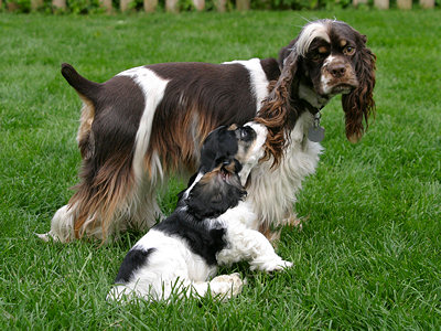 puppy with adult Cocker Spaniel