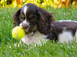 Cocker puppy with tennis ball