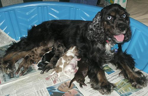 Merle Cocker puppies