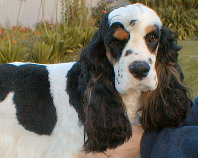 tri color American Cocker Spaniel