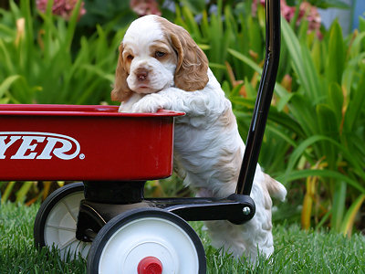 Cocker Spaniel puppy in wagon