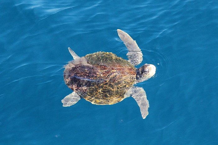 Sea turtle swims by the Carnival Spirit near Acapulco