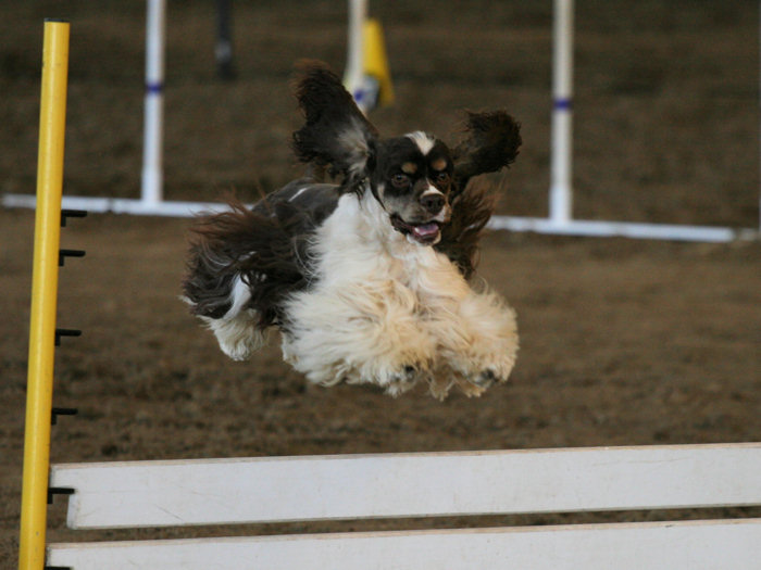 chocolate parti Cocker competing in agility