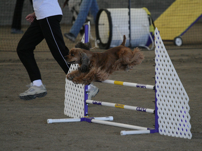 A sable colored Cocker in mid-air
