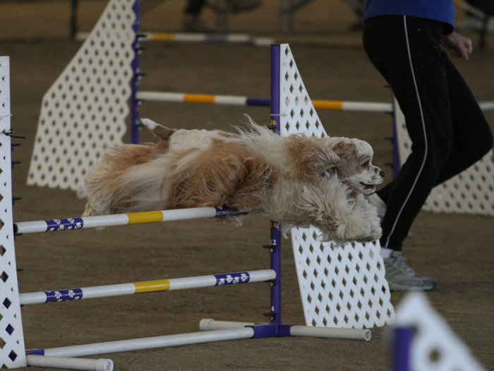 Casey, a red & white parti, competes in agility