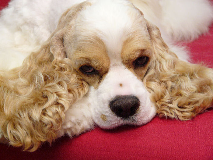 Cocker Spaniel Photo from Panasonic digital camera