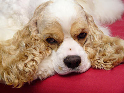 One of our American Cocker Spaniels