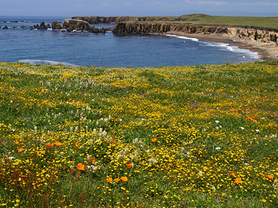 Wildflowers on the San Luis Obispo county coastline