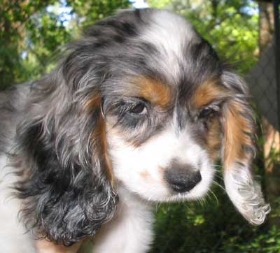 blue merle parti Cocker with tan points